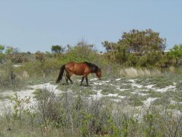 Wild horse on Island by Lectrichead