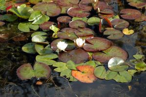 Lilly Pad II by Beef-Stock