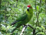 red-crowned parakeet by Lionessrules