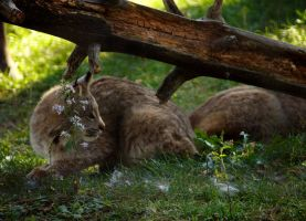 What do you see, little lynx? by TheBrassGlass