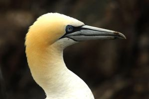 Gannet Profile by Shadow-and-Flame-86