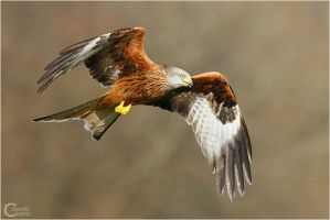 Red Kite by ClaudeG