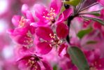 The Pink Flowers by kennywfz