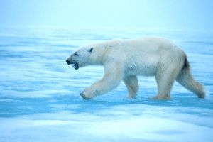 Polar Bear 2 by catman-suha