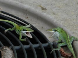 Anole Battle 2 by duggiehoo