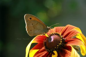 Wings of butterfly. by panna-poziomka