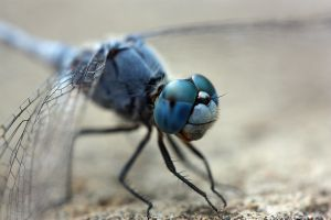 Balinese dragonfly macro by AngiWallace