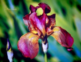 Iris (V). by Phototubby