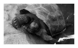 Giant Tortoise by amyjls