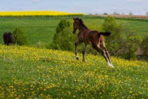 Bay Foal Running towards Mommy Stock by LuDa-Stock