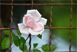 beautiful roses on the fence by SvitakovaEva