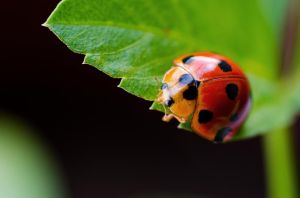 Ladybug by NorthBlue