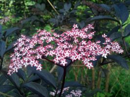 Sambucus nigra - subspecies of awesomeness by elvenmaedchen
