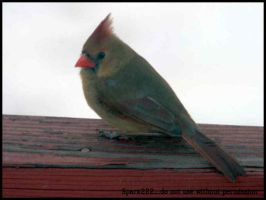 Female Cardinal by sparx222