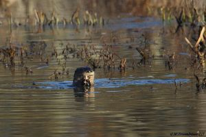 Otter and it's fish by natureguy