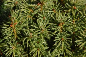 Dew On Pine by ByronGiant