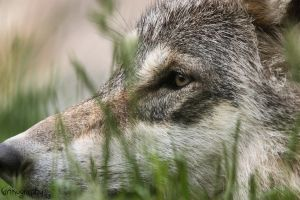 European Wolf 365 by Canisography