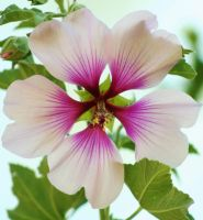 White Hibiscus by OrioNebula