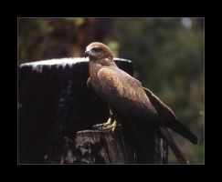 Black Kite by AdamsWife