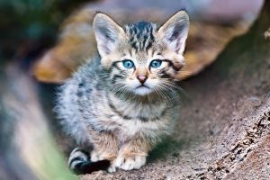 European Wildcat Baby 1 by TadStone