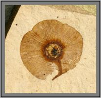 SR Fossil: Dipteronia Seed by paleoichneum