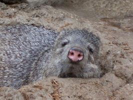 Peccary, Front by TheFinalLion