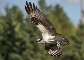 Osprey-Zeroing-in by JestePhotography