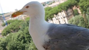 Common Gull by HYPPthe
