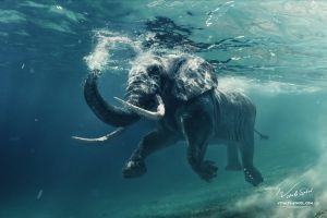 An African Elephant Underwater by Vitaly-Sokol