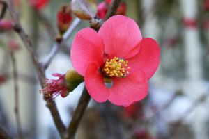 Red Quince by Kilamija
