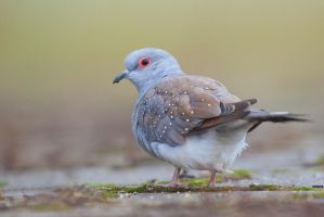 Diamond Dove -Geopelia cuneata by capitaodomato111