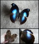 Great Blue Hookwing Butterfly by CabinetCuriosities