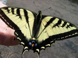 Tiger Swallowtail by theNanna