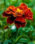 Tagetes by perenstrom