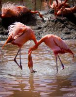 Flamingos's battle by MCL28