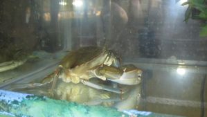Blue Crab Sideview by kdawg7736