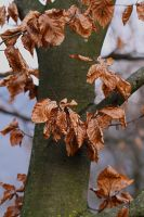 Beech at Winter's End by organicvision