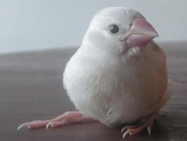 My pet Java sparrow Niau-er by Scottvisnjic