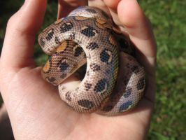 Imitation Ball Python by LuckisGONE