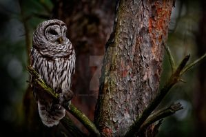 Barred Owl in Forest by MichaelsPhotography