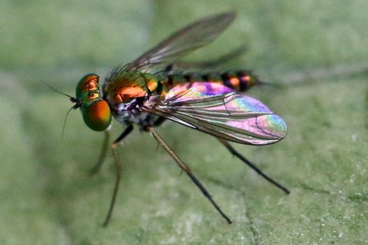 Colorful Long Legged Fly by FallOut99