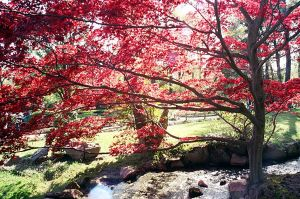Japanese Maple 1 by NefariousImaging