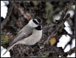 Mountain Chickadee by JAHarrell