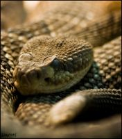 West Coast Rattlesnake by jayvoh