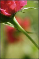 like_a_rose by Lepeng