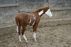 Chestnut Roan Yearling Paint Stud Colt by HorseStockPhotos