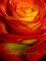 Fire Rose 2 by MisticMorgue