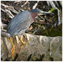 Green Heron v2 by CTP