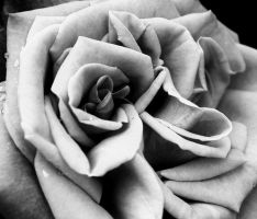 Black and White Rose by kaykay303
