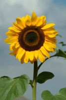 sunflower by SolStock